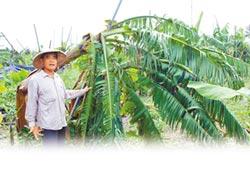 颱風接力 屏東蕉農嘆喝西北風