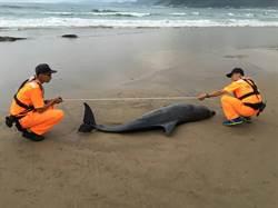 疑細菌感染 保育海豚擱新北淺沙灘亡