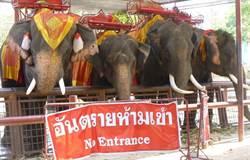 硬逼吃香蕉 女子遭大象箍頸拋擲爆頭重傷