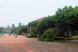 褐根病肆虐 水燦林國小搶救榕樹走廊