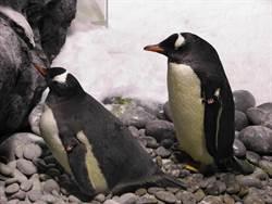企鵝待產季節來囉!屏東海生館看企鵝孵蛋