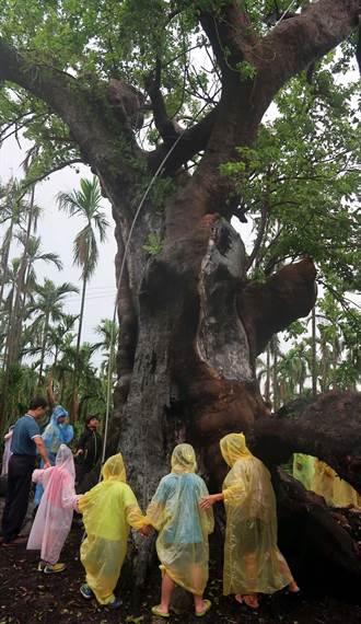 280年老茄苳樹重生 眾人幫祈福慶生