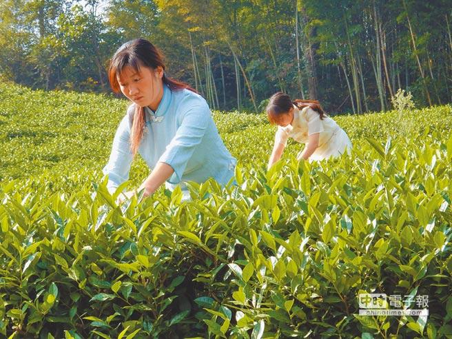 商城金剛台西河境內的茶園,通常到4月清明節前,許多採茶農家都會進行採茶。(記者陳建瑜攝)