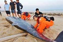 珍稀鯨豚魂斷金門 死因疑為潛水伕病