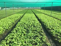 颱風菜價飆 農委會:小葉菜下週大量供應