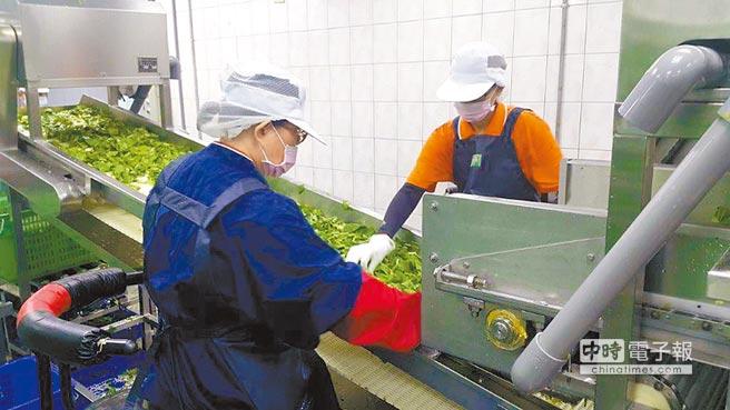 桃園中小學營養午餐吃有機蔬菜,桃園市政府也輔導成立「有機蔬菜截切加工廠」,不惜成本使用電解水清洗蔬菜,確保蔬菜保鮮及清脆。(蔡依珍攝)