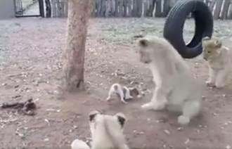 3隻萬獸之王搶不贏小狗 嚇到跌倒、落跑