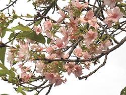 颱風打亂花序 秋天櫻花盛開