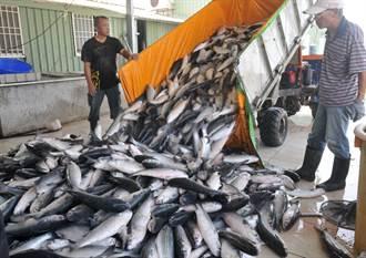金門採收烏魚卵 民眾搶購新鮮魚殼