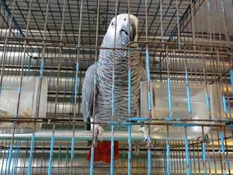 鸚鵡亂叫鄰居報警 意外發現保育類非洲灰鸚鵡