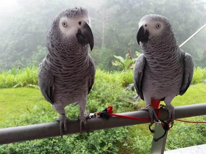 灰鸚鵡「東東」(左)在飛失前與「小薇」晨昏相聚、形影不離。(照片由飼主提供)