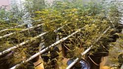 水電工「裝修」大麻房 水耕種植超專業
