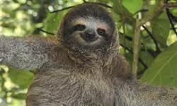 代謝最慢動物 三趾樹懶奪冠