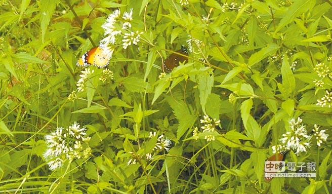 亞泥生態園區廣植多種蜜源與食草植物,吸引蝴蝶到處飛舞。(許家寧攝)