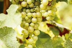 大洋洲-澳洲的葡萄早熟