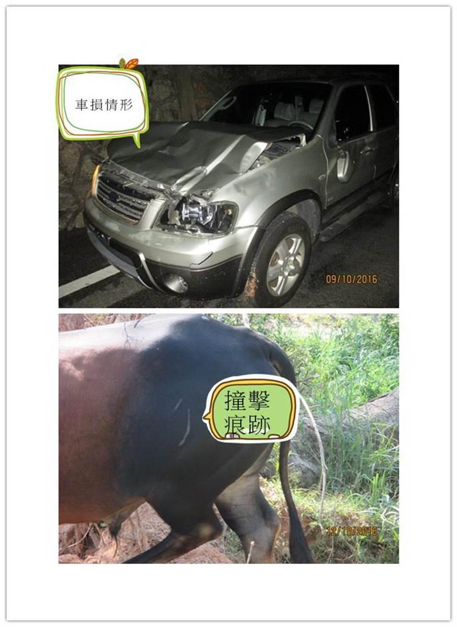牛隻撞上休旅車,導致車毀牛傷的意外。(警方提供)