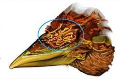 研究發現:鳥喙「內置空調」結構 調節溫濕度
