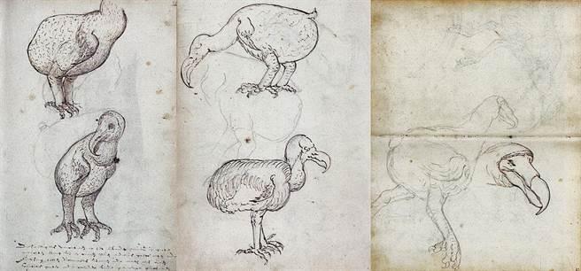 由荷蘭東印度公司於1602年繪製的渡渡鳥手稿。(圖/荷蘭國家檔案館)