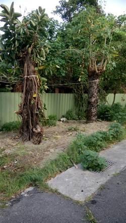 校園種電假移植真砍樹?溪湖國小老樹遭殃
