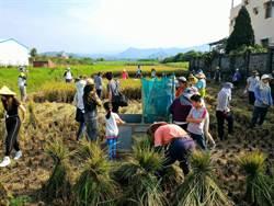 推廣農村生活技藝  帶青年體驗割稻插秧