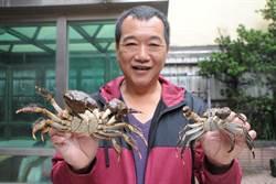 後龍溪捕獲罕見10兩毛蟹 象徵生態保育有成