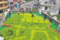 濫坑打造空中菜園 省50%電費