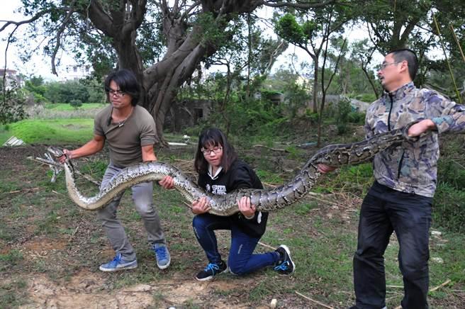 金門捕獲體長372公分、體重37公斤的野生緬甸蟒。(李金生攝)