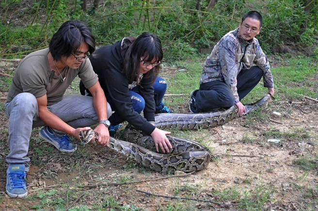 金門冬天寒冷,緬甸蟒活動力和攻擊性均降低。(李金生攝)