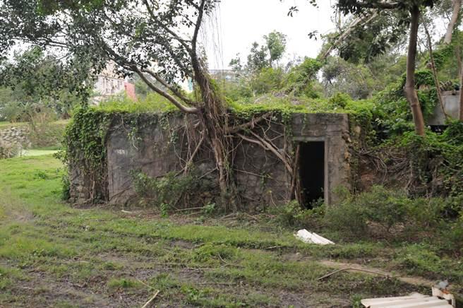 金門大幅裁減兵力後,閒置營區成為緬甸蟒的「家」。(李金生攝)