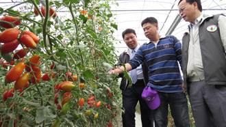 黃金廊道節滴灌系統種番茄 省水又省肥