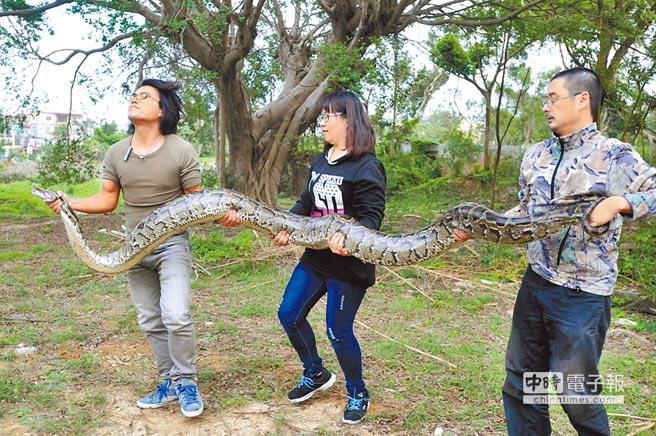 金門捕獲體長372公分、體重37公斤的緬甸蟒,為近年來發現的最大個體。(李金生攝)