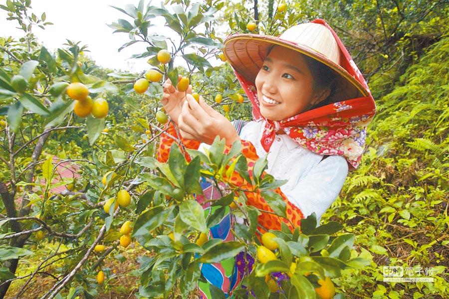 宜蘭金棗結實纍纍,頭城休閒農場正配合農委會推出水果旅行。(陳志東攝)