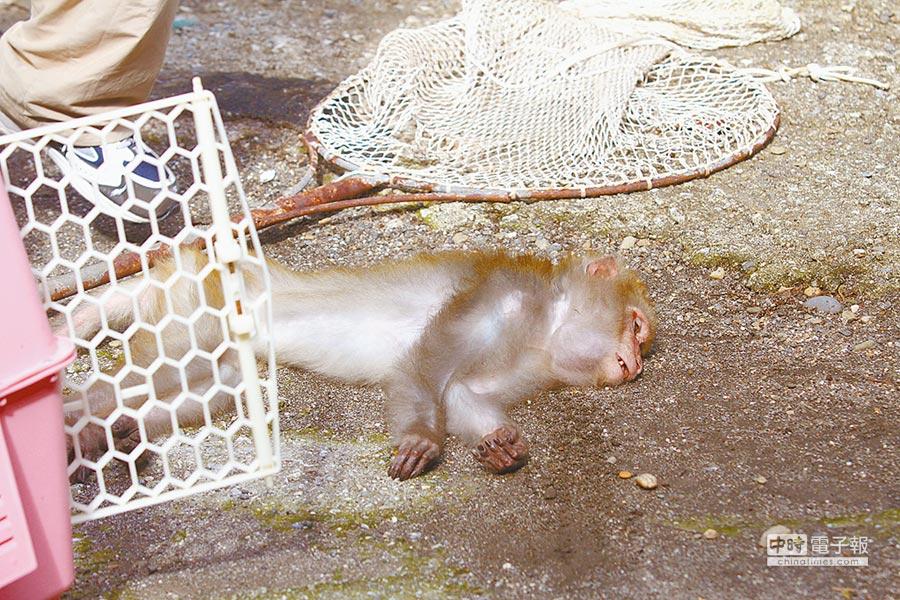 花蓮8個月大的楊姓女嬰,被入侵民宅的獼猴咬傷右腳,包紮後已無大礙。(許家寧翻攝)