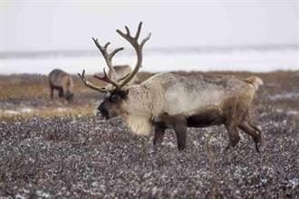 全球氣候暖化 馴鹿變瘦拉不動耶誕老人