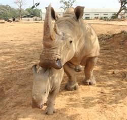 六福村小犀牛超呆萌 愛心T恤送愛到南非