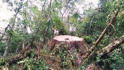 山老鼠伐倒700年牛樟 10人被逮