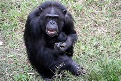 黑猩猩寶寶滿月  媽媽攬緊緊