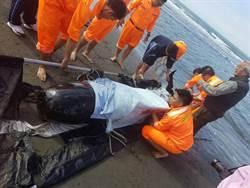 短肢領航鯨擱淺台南將軍  後送救治