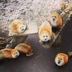 哪啊哪啊~去狐狸村!破百隻狐狸等著你的「藏王狐狸村」