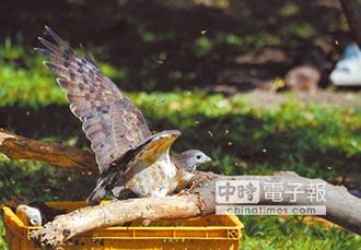 養蜂50年 蜂農搶拍蜂鷹展翅