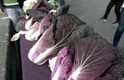 創新農業  農民嘗試種紫色大白菜