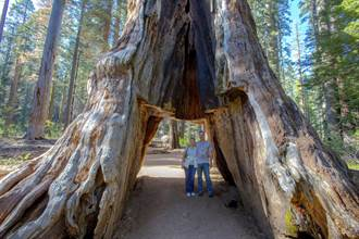 加州千年紅杉 在暴風雨中倒下