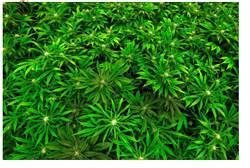 研究:大麻減痛 但增精神病風險