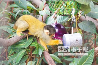 黑冠松鼠猴 現身動物園