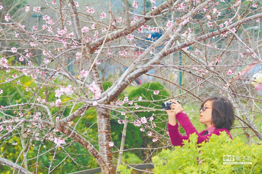 鹿谷小半天的河津櫻初綻,預估盛花期落在春節。(沈揮勝攝)