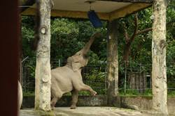 大象變身拳擊手  練身體就有東西吃