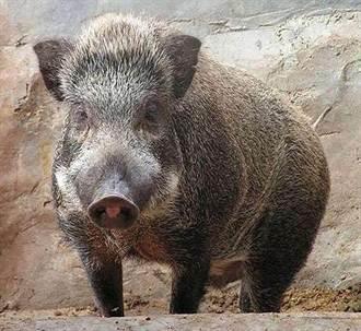 男想發財裝電網捕野豬 出乎意料電到…進大牢