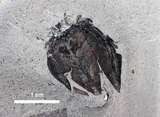 5200萬年前燈籠西紅柿化石 葉脈紋路清晰可見