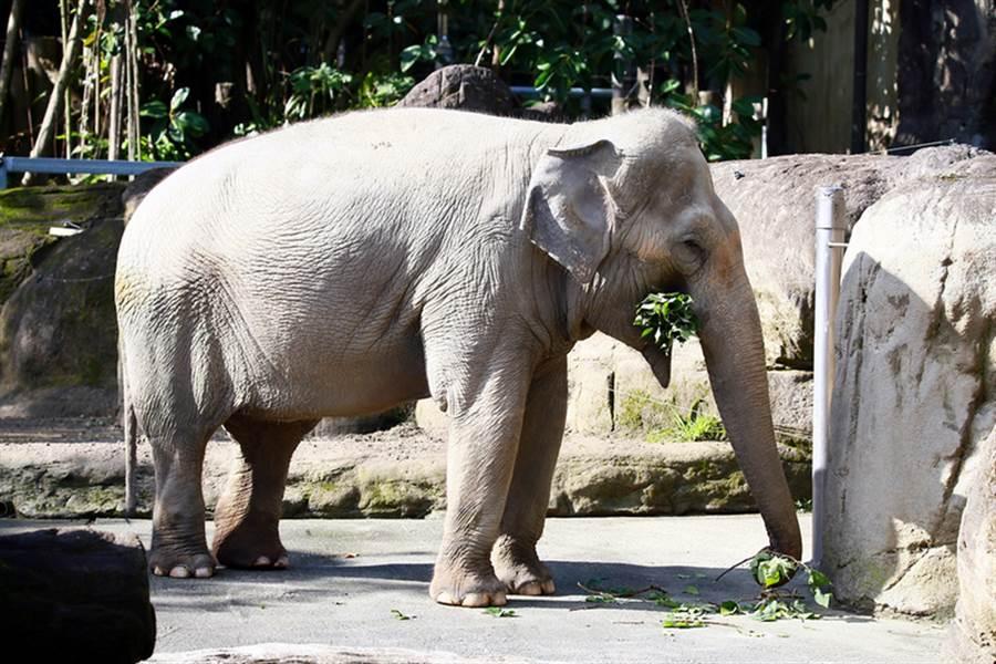 長年照顧大象的陳姓技工,疑被「換養」其他動物鬱卒上吊輕生。(中央社資料照)