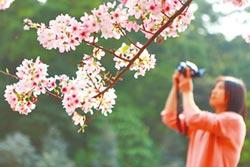 山櫻花陸續綻放 新北櫻花季開跑